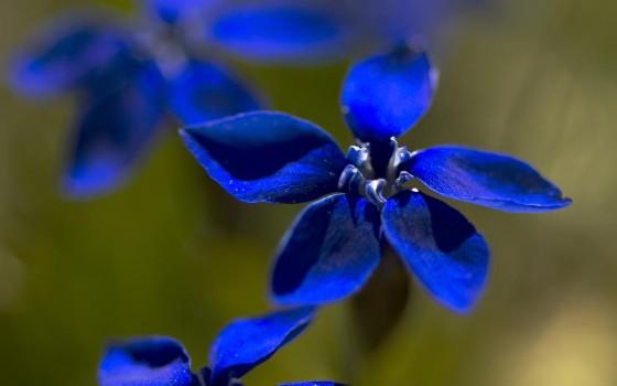 Frühlings Enzian: unwiderstehlicher, blauer Stern