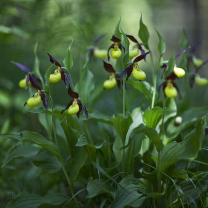 Der Gelbe Frauenschuh ist eine seltene Orchidee, die auch im Buchenwald wächst.