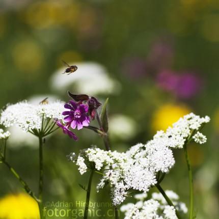 Wiese mit einer Biene im Landeanflug auf Blume.