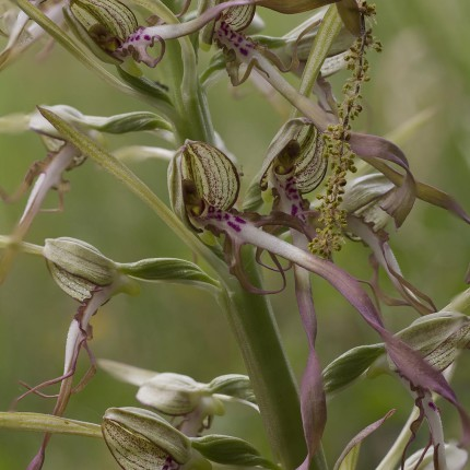 Die Riemenzunge: eine seltene Orchidee, die sich im Schweizerjura aufgrund des wärmeren Klimas seit kurzer Zeit schneller Ausbreitet.