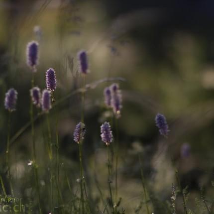 Pflanzenaufnahmen mit dem Canon 85/1.2 II Objektiv ermöglichen Bilder mit einer extrem geringen Schärfentiefe