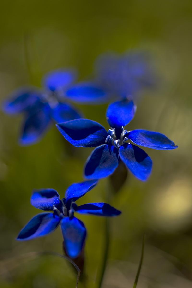 Frühlings-Enzian fotografiert bei f2