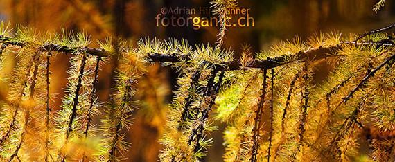 Die Strahlenden Herbstfarben begeistern im Engadin Naturfotografen.