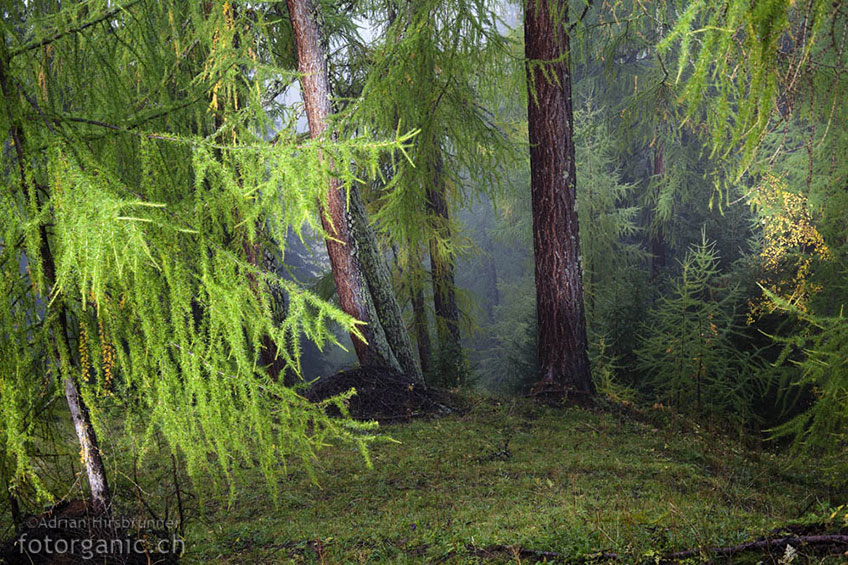 Geheimnisvolle Nebelbänke ziehen im Herbst durch die Engadiner-Lärchenwälder.