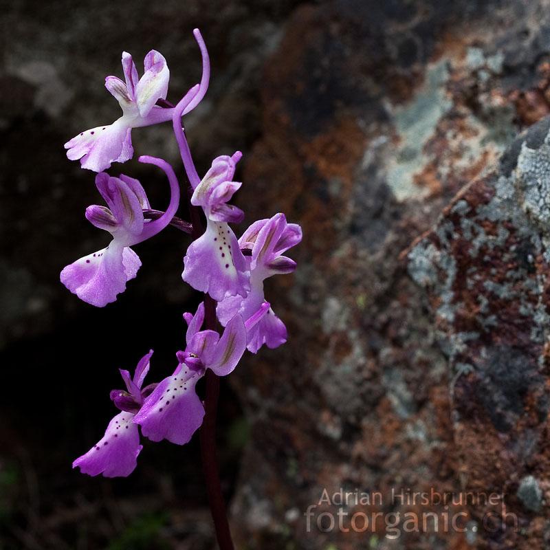 Trodos Knabenkraut / Orchis troodi