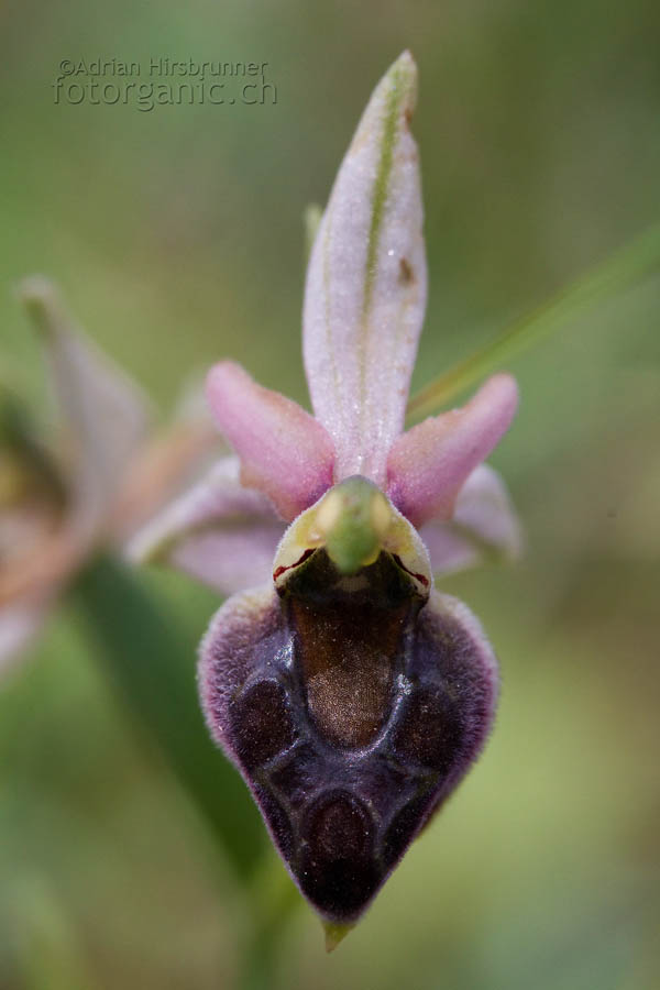 Ophrys elegans, Zypern