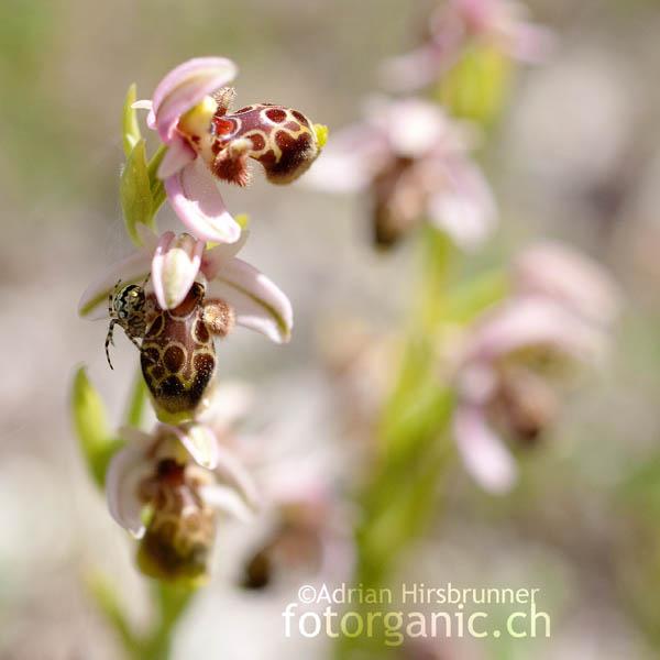 Ophrys umbilicata ist eine der häufigsten Ragwurzarten Zyperns