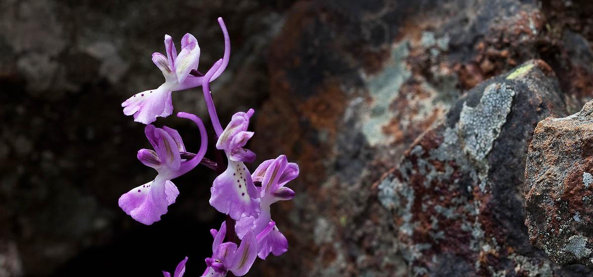 Naturfotografie-Orchideen auf Zypern