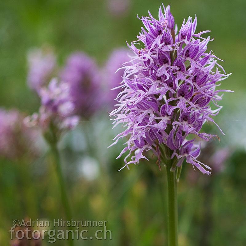 Orchis italica ist im gesamten Mittelmeerraum verbreitet