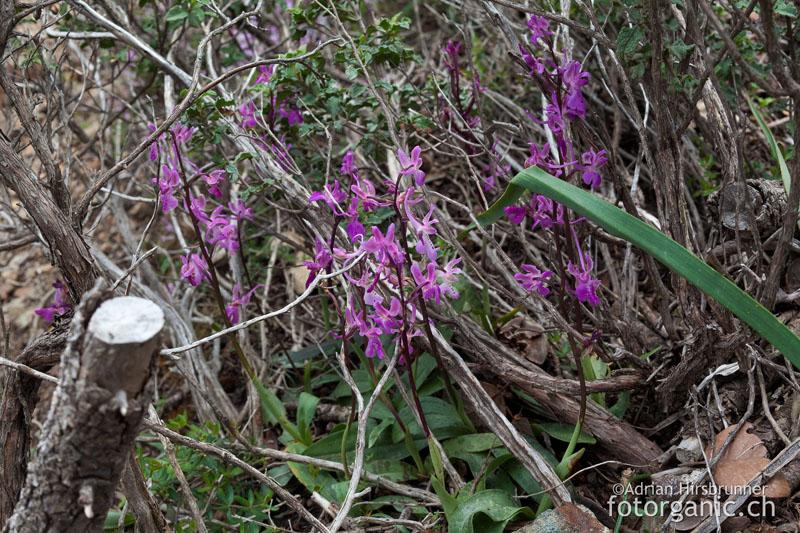 Orchis troodi an ihrem Standort im Zedernwald.