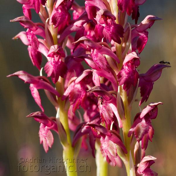 Die Wanzen-Orchis ist in Mitteleuropa selten.