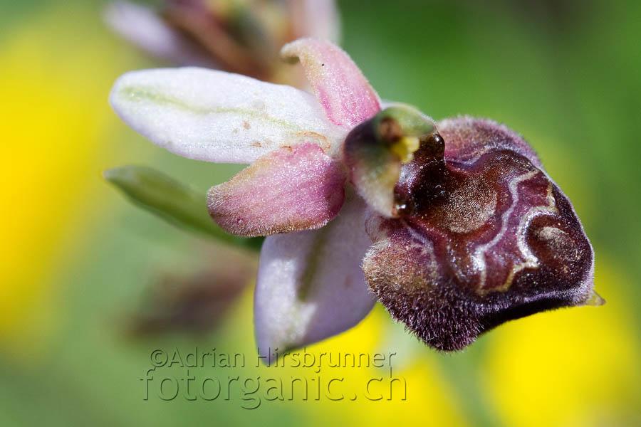Zypriotischer Endemit Ophrys elegans