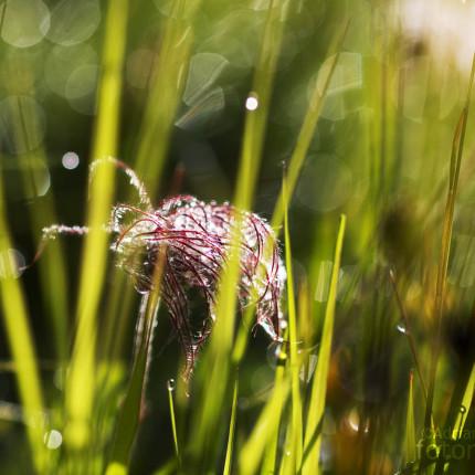Verblühte Anemonen sind interessante Fotomotive.