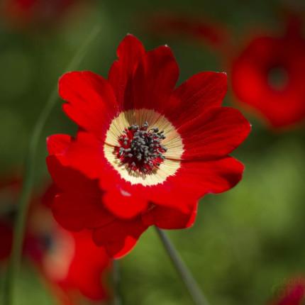 Annemone coronaria bildet in manchen Bergregionen von Peloponnes im Frühjahr Massenvorkommen. Ganze Landstriche verfärben sich rot.