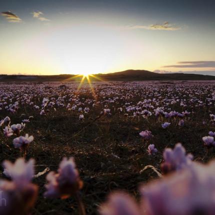 Blumenmeer im Sonnenuntergang: das massenhafte Vorkommen der Strandnelke verzaubert die Landschaft.