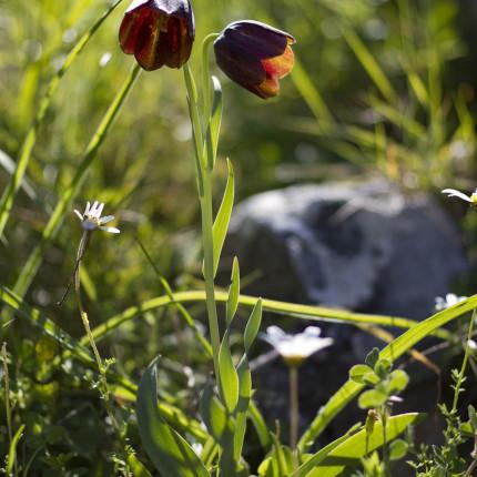 Fritillaria obliqua ist leider unmittelbar vom Aussterben bedroht. Per Zufall haben wir auf Mani eine kleine Population entdeckt.