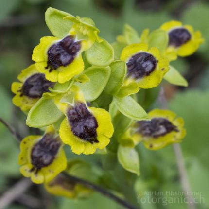 Ophrys lutea / Gelbe Ragwurz ist auf Peloponnes recht häufig anzutreffen.
