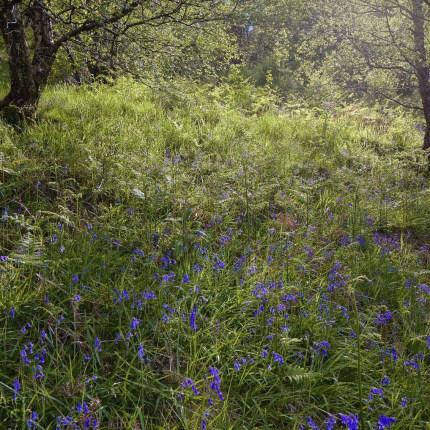 Hasenglöckchen gehören zu den Hyazinthen. In Schottland besiedeln sie oftmals lichte Wälder.
