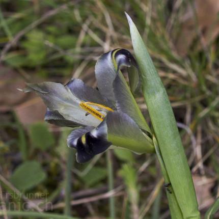 Hermodactylus tuberosus / Hermesfinger