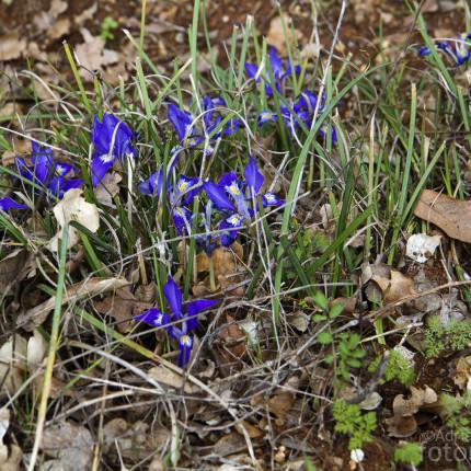 Intensiv blaue Iris-Art, Peloponnes. Eine genaue Bestimmung war mir leider nicht möglich.