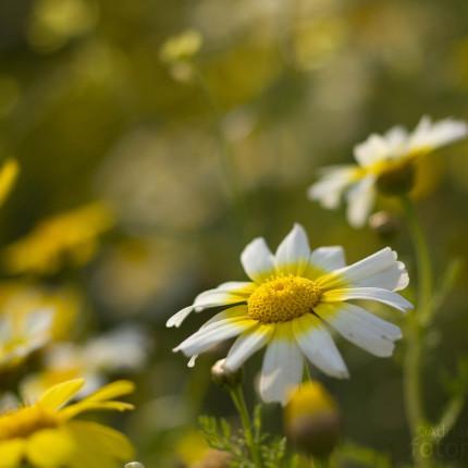 Kronenwucherblumen sind auf Peloponnes häufig und aufgrund der Massenvorkommen auch auffällig.
