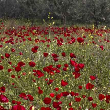 Mohnfeld im Olivenhain