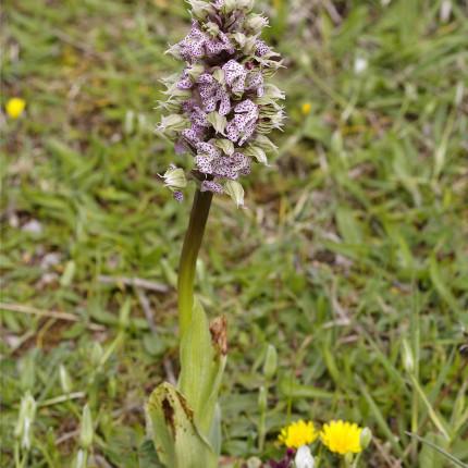 Neotinea lactea / Milchweisses Knabenkraut