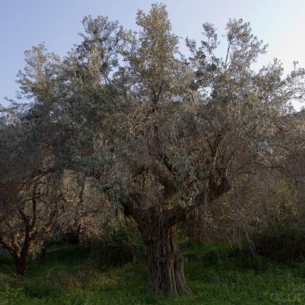 Ölbäume trifft man auf dem Peloponnes auf Schritt und Tritt an,
