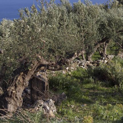 Überall auf Peloponnes trifft man auf gepflegte Olivenhaine