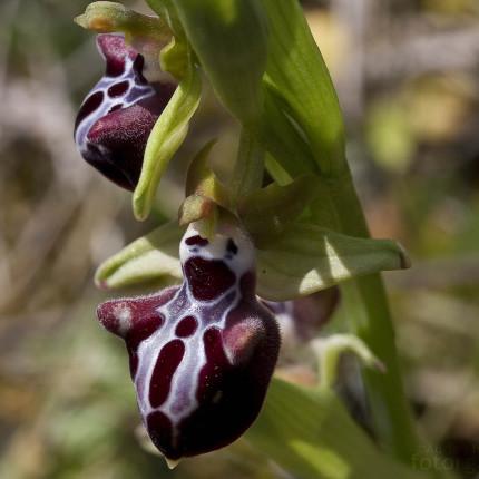 Ophrys mammosa / Busen Ragwurz