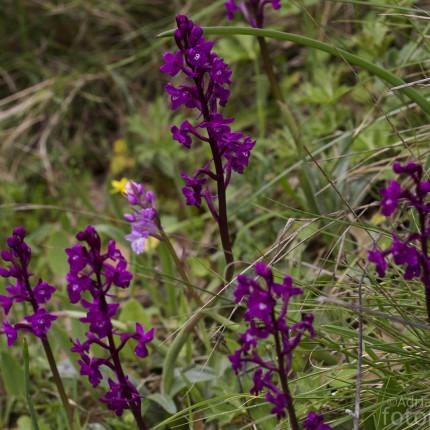 Orchis quadripunctata / Vierpunkt-Knabenkraut