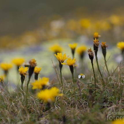 Die goldgelben Blüten des Pippau .