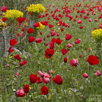 Anemonenfelder Peloponnes