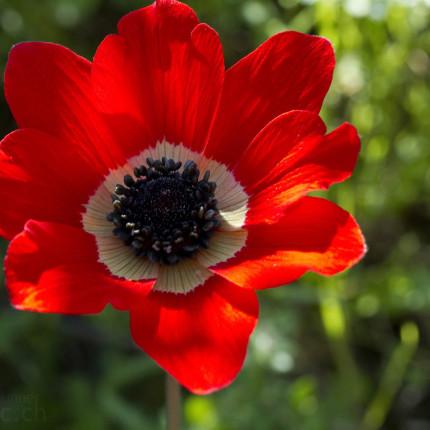 Die Rote Kronenanemone ist aufgrund lokalen Massenvorkommen eine der auffälligsten Pflanzen auf Peloponnes