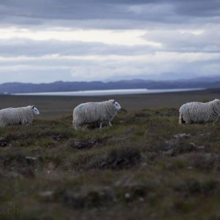 Viele Schafe ziehen durch Schottland.