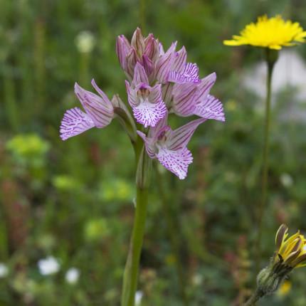 Orchis papilionacea /Schmetterlings-Knabenkraut