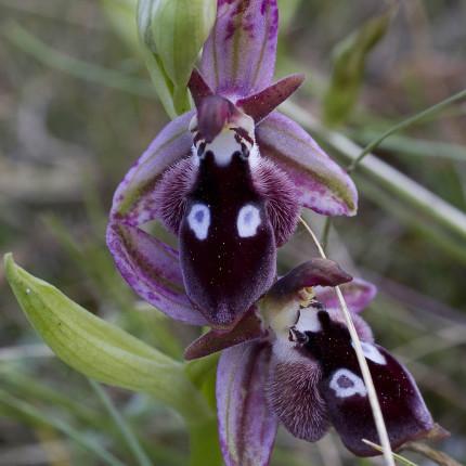 Ophrys reinholdii - Variation