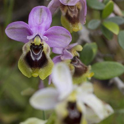 Auf Peloponnes finden wir nur wenige Exemplare der Wespen-Ragwurz