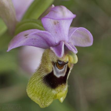 Ophrys tenthredinifera / Wespen-Ragwurz, Peloponnes