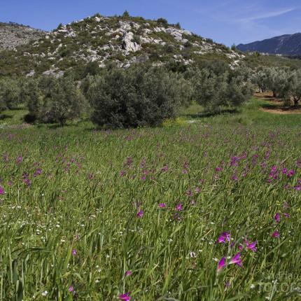 Wilde Gladiolen sind auf Peloponnes oft anzutreffen.