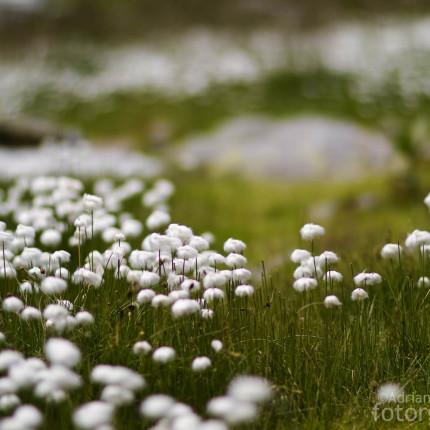 Wollgräsern begegnet man in der Greinaebene auf Schritt und Tritt.