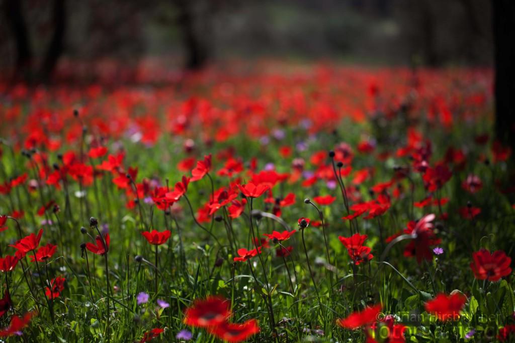 Zu Tausenden stehen die Kronen-Anemonen in Griechenland auf der Wiese.