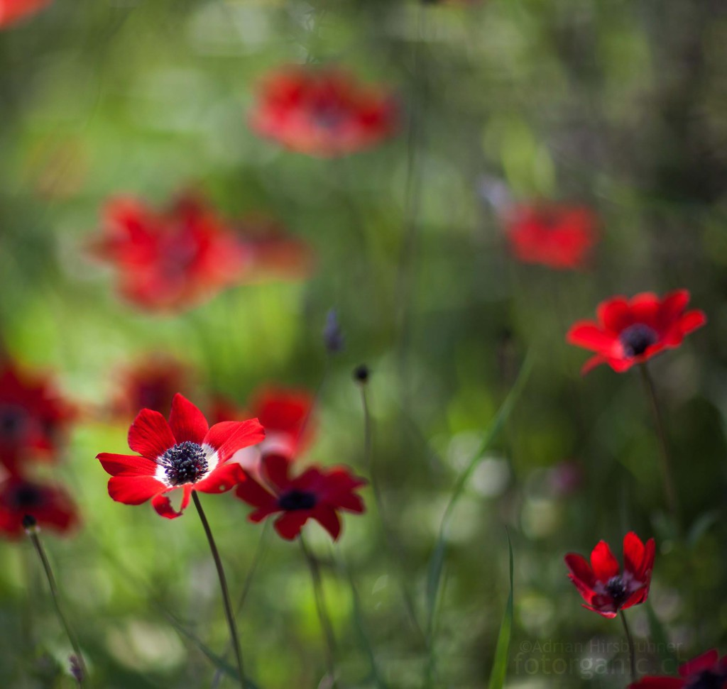Bunt und voller Kontraste: Anemone coronaria im Licht und Schatten einer Blumenwiese.