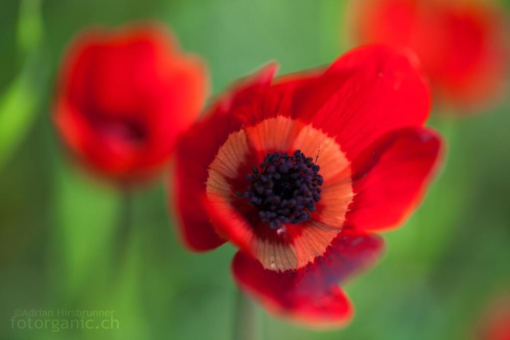 Das heisse Rot der Kronen-Anemone bildet beinahe einen Komplementärkontrast zu den teilweise kalten Grüntönen des Hintergrundes.