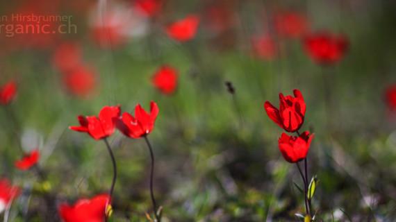 Feurig: Die rote Kronenanemone setzt den griechischen Frühling in Brand.