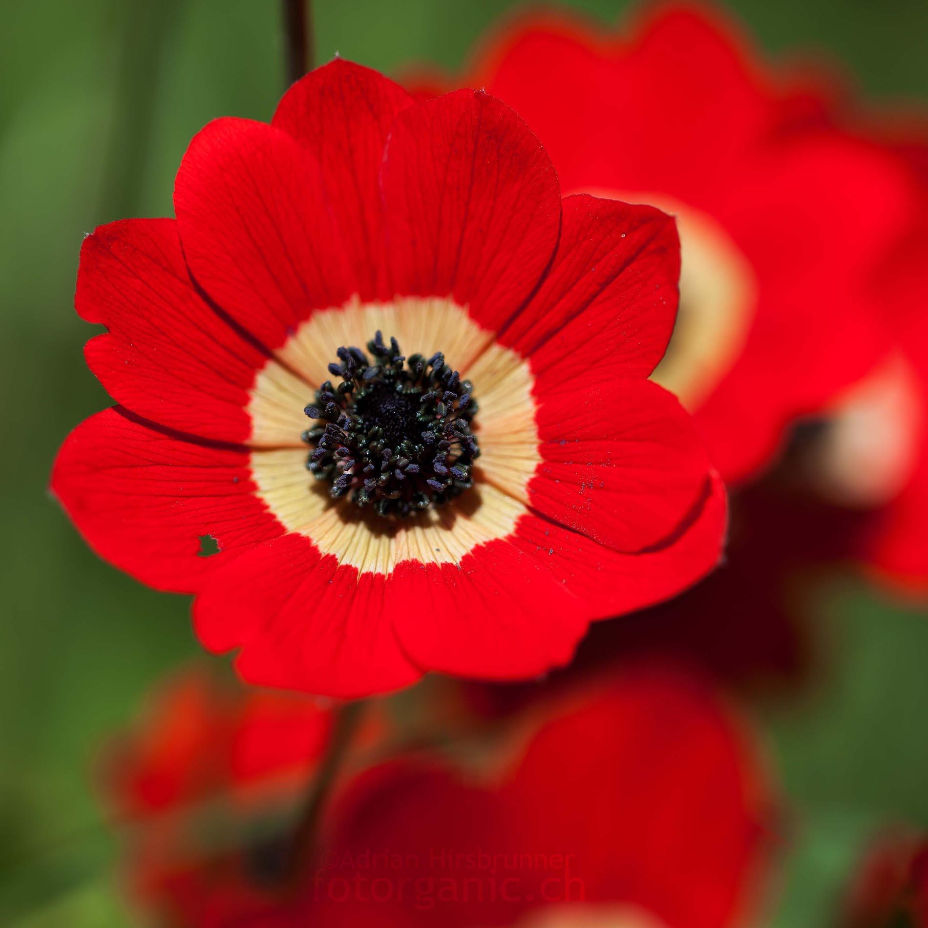 Ungewöhnlich: Ein Exemplar mir zehn Blütenblättern. In der Regel besitzt Anemone coronaria 5-8 Blütenblätter.