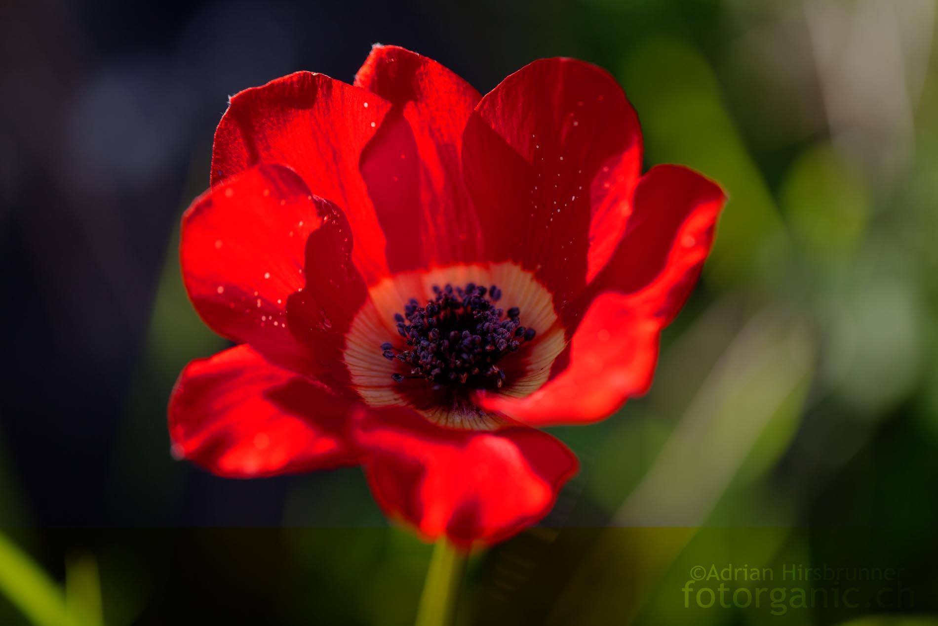 rot flammenmeer der kronen anemone naturfotografie adrian hirsbrunner. Black Bedroom Furniture Sets. Home Design Ideas
