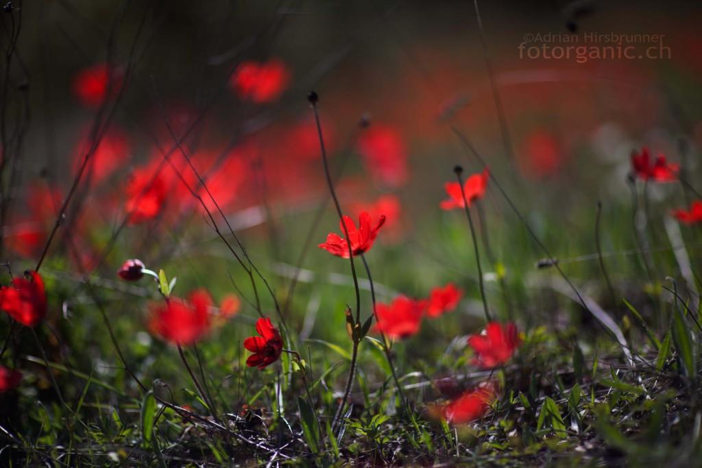 Rot: Die feurige Kronen-Anemone ist die Königin aller griechischen Blumen.