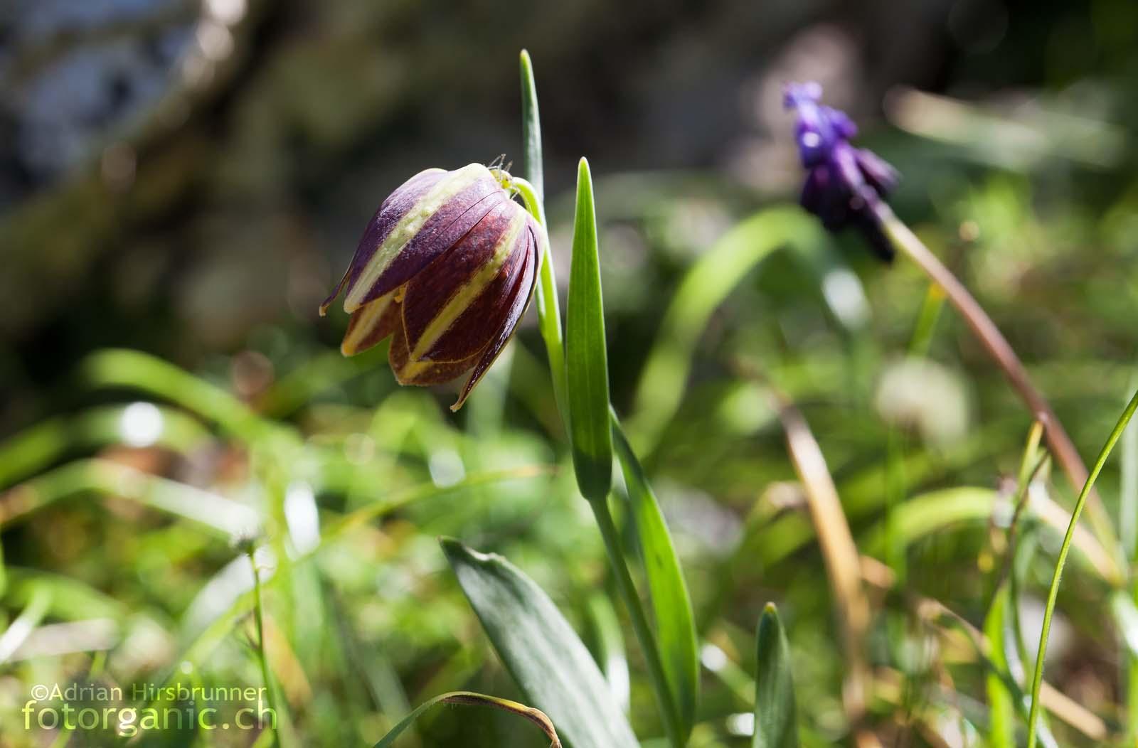 Nahe der Ortschaft Didima stiessen wir auf die ebenfalls sehr seltene und in Griechenland endemische Fritillaria graeca subsp. graeca.
