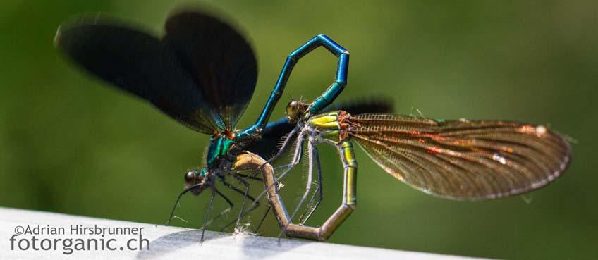 Das Paarungsrad: Blauflügel-Prachtlibellen sind nicht nur schön anzuschauen. Es lohnt sich, ihr faszinierendes Verhalten genauer zu studieren.